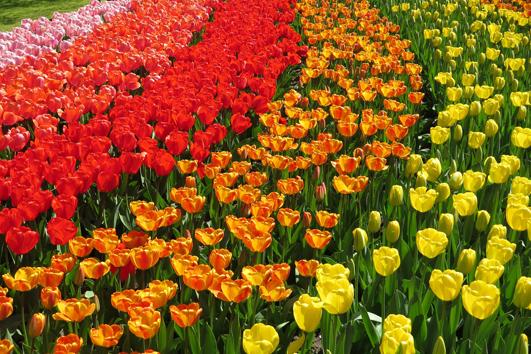 Tulpen sind niederländisch? Denken Sie!
